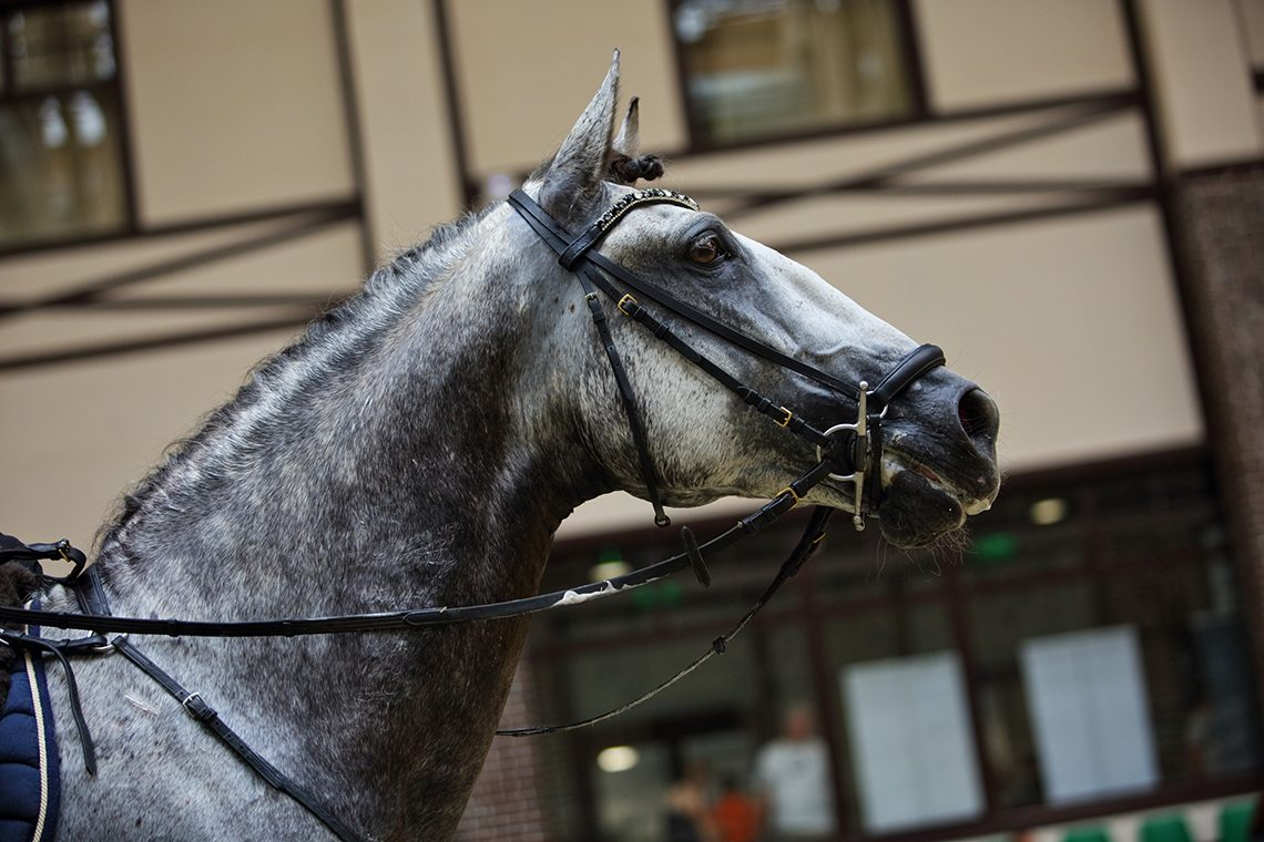 Dapple Grey Andalusian Stallion