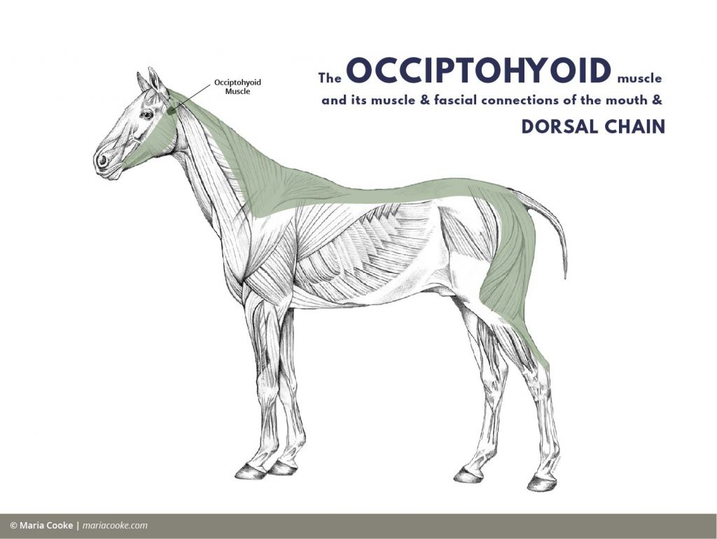 Anatomy diagram of the Occiptohyoid and its muscle and fascial connections of the mouth and dorsal chain of the horse.